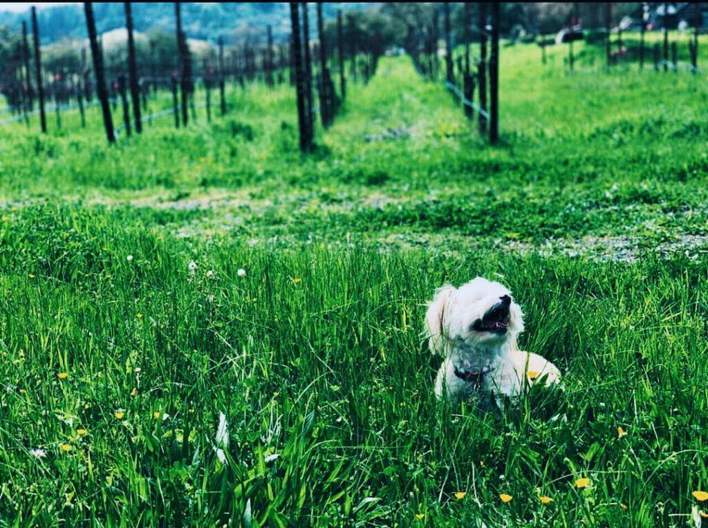 Dog in vineyard